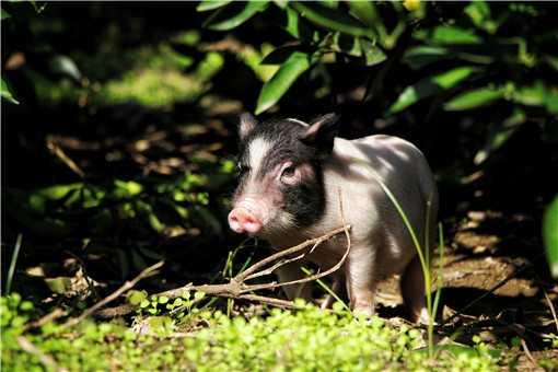2020年香猪的养殖前景怎么样