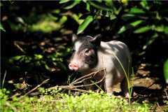 2020年香猪的养殖前景怎么样?养殖场地建设方法是什么?
