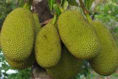 菠萝蜜是哪里的特产?功效与副作用有哪些?