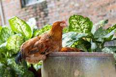 养300只土鸡的利润和成本是多少?附养殖技术