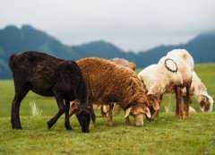 羊的尾巴有什么作用?2020年养羊能不能赚钱?