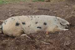 一般一头猪要养多久出栏?出栏多少斤?怎么育肥?