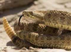 响尾蛇的生活习性是怎样的?尾巴有什么作用?