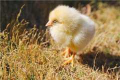 2020年鸡苗多少钱一只?养殖技术是什么?