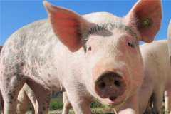 2020年养猪挣钱吗?养殖前景如何?(附2020年猪肉价格预测)