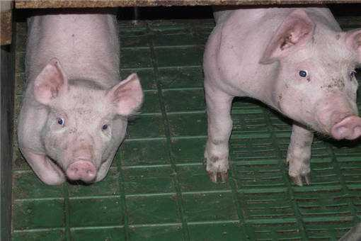 2020年养猪贷款有什么要求