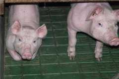 2020年养猪贷款有什么要求?能贷到所少钱?有哪些手续?
