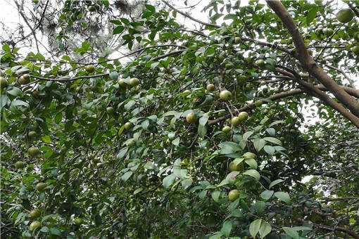 茶籽油的功效和作用