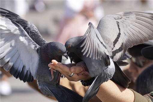 2020年特种养殖业肉鸽最赚钱