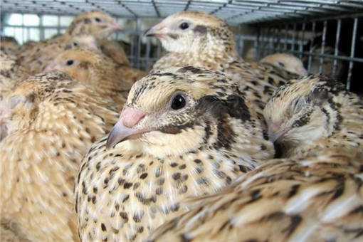 2020年珍禽养殖之鹌鹑