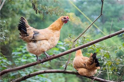 2020年珍禽养殖之山鸡
