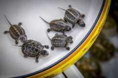 养什么龟比较赚钱?盘点经济价值较高的常见龟类