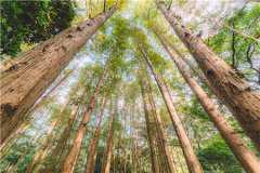 2020年大面积种植什么树效益高?这6种树种可供选择!