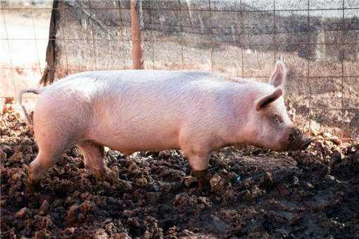 2020年养猪前景如何之3个弊端