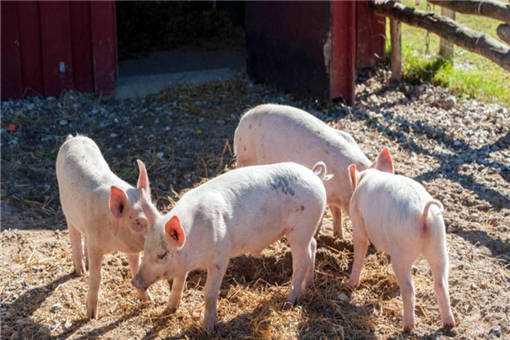 2020年养猪前景如何之2个利好
