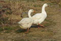 大白鹅好养吗?养殖的技术有哪些?