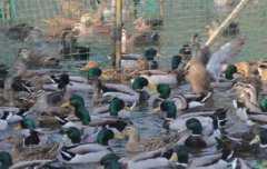 浙江10万只鸭子出征巴基斯坦灭蝗是怎么回事?蝗虫的天敌是鸭子?