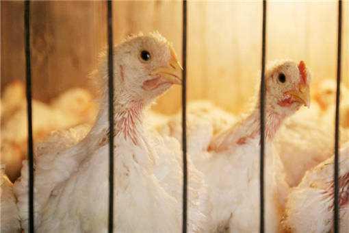 蛋鸡养殖设备有哪些
