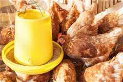 蛋鸡养殖如何选址?建鸡舍应注意哪些方面?养殖户建议看这里!