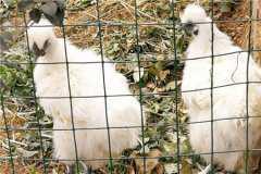 2020年乌骨鸡价格多少?它的功效和作用有哪些?