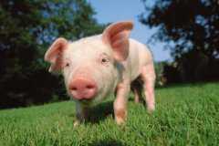 仔猪、饲料价格是多少?生猪行情怎么样?未来猪价会如何?