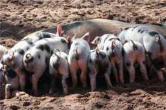 2020猪苗价格多少钱一斤?养一头猪能赚多少?(附各地最新仔猪报