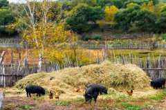 2020年农村个体散户养猪要求是什么?有什么政策?有补贴吗?