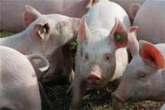 猪肉批发价格连续11周下降!2020年下半年猪价走势如何?