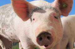 恶意抛售染疫生猪一律顶格处罚是怎么回事?当前非洲猪瘟防控形势