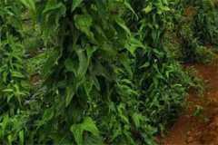 百部种植市场前景怎么样?亩产多少斤?附种植技术详解!