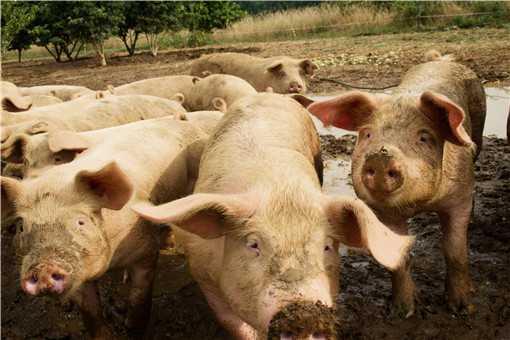 养猪场产生的粪便怎么处理-摄图网