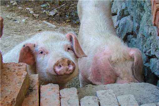 养猪场怎么建最好-摄图网
