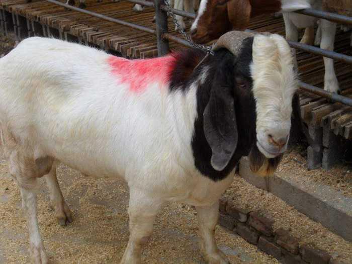 波尔山羊什么时候配种