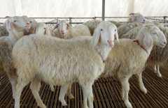 养羊引种前应该做好那些技术准备