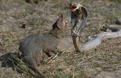 蛇的天敌,蛇的天敌是什么动物?