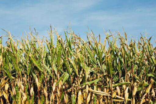 现在玉米价格多少钱一斤-摄图网