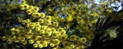 金合欢树是常绿还是落叶乔木?
