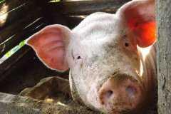 2020年天津市生猪养殖养殖政策:引进种猪每头给予1000元补贴!