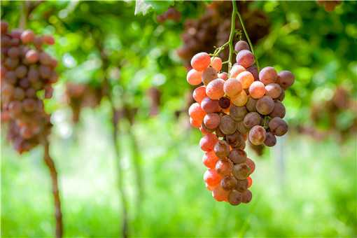 葡萄常见的病害有哪些