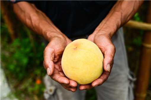 黄桃的种植与管理技术