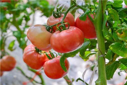 西红柿落花落果怎样防治