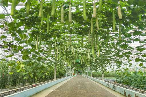 夏季大棚蔬菜高产技术