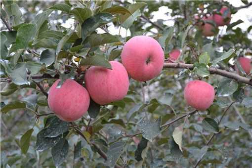 苹果怎么种