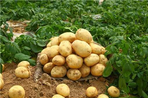 马铃薯用什么繁殖