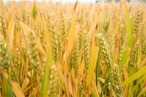 小麦灌浆期如何管理