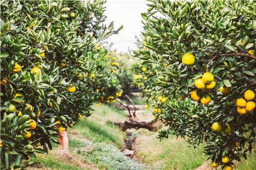 柑橘挂果期