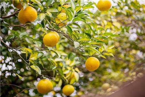 5月柑橘保果方法