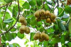如何区分猕猴桃有没有打膨大剂?附成熟及采摘时间参考