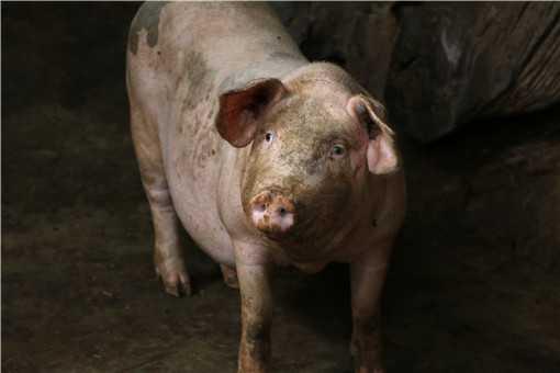 养猪的利润与成本