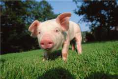 2021年养猪的利润与成本分析!养10头猪一年利润多少?